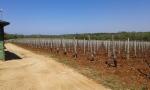 Ritoša vinograd foto_19042015_2