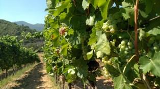 Carski vinogradi 1